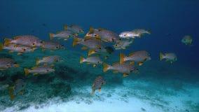 Sweetlips congregado diagonal en un arrecife de coral 4k almacen de metraje de vídeo