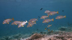 Sweetlips congregado diagonal en un arrecife de coral 4k almacen de video