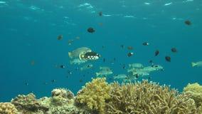 Sweetlips congregados diagonal en un arrecife de coral almacen de metraje de vídeo