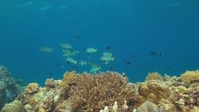 Sweetlips congregados diagonal en un arrecife de coral metrajes