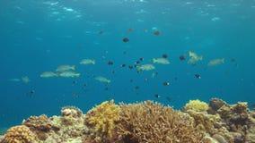 Sweetlips congregados diagonal en un arrecife de coral almacen de video