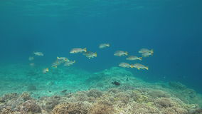 Sweetlips congregados diagonal en un arrecife de coral 4K almacen de metraje de vídeo