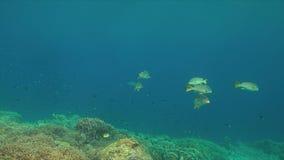 Sweetlips congregados diagonal en un arrecife de coral 4K almacen de video