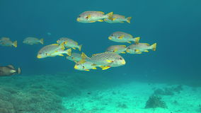 Sweetlips congregados diagonal en un arrecife de coral 4K metrajes