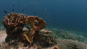 Sweetlips on a coral reef with Anthias and Damselfishes 4k royalty free stock photo