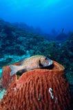 Sweetlips dell'arlecchino sul corallo immagini stock