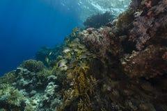 Sweetlips di Blackspotted ed il mare acquatico di vita in rosso fotografia stock