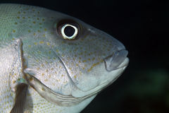 Sweetlips do Minstrel Imagem de Stock Royalty Free
