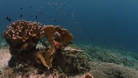 Sweetlips en un arrecife de coral con Anthias y los Damselfishes 4k foto de archivo libre de regalías