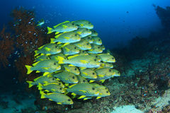 Sweetlips Fische Lizenzfreie Stockbilder