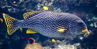 Sweetlips fish 3 Royalty Free Stock Photography