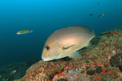 Sweetlips fish Royalty Free Stock Image