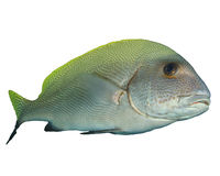 Sweetlips fish Royalty Free Stock Photo