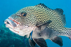 Sweetlips getting cleaned Stock Photos
