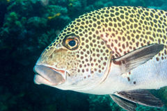 Sweetlips getting cleaned Royalty Free Stock Photo