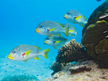 Sweetlips, Great Barrier Reef, Australia Stock Image