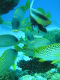 Sweetlips and intruder. School of sweetlips with a bannerfish joining them Stock Photos