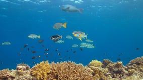 Sweetlips legati diagonale su una barriera corallina Fotografia Stock Libera da Diritti