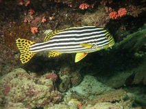 Sweetlips from maldives Royalty Free Stock Photography