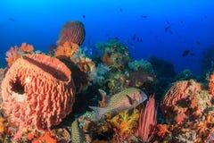 Sweetlips och andra tropiska fisk och svampar Fotografering för Bildbyråer
