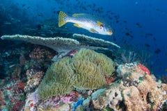 Sweetlips och andra tropiska fisk och svampar Arkivfoto