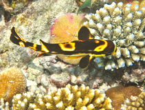 Sweetlips orientaux en Maldives Photos libres de droits