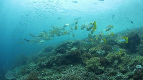 Sweetlips and Other Schooling Fish. Sweetlips and other species school above a healthy reef in Raja Ampat, Indonesia. This tropical region is known for its stock video