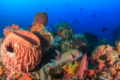 Sweetlips and other tropical fish and sponges Stock Image
