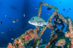 Sweetlips på en undervattens- haveri Royaltyfria Bilder