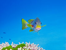 Sweetlips, récif de barrière grand, Australie Photo stock