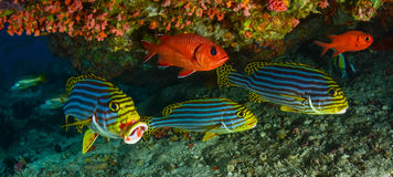 Sweetlips and Soldier fish. Under a reef stock photo