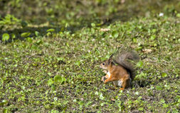 Sweetly pretty squirrel Royalty Free Stock Image