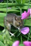 Sweetpea di cibo del topo di campagna Fotografie Stock