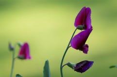 Sweetpea roxo Imagens de Stock Royalty Free