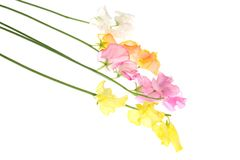Sweetpea  in a white background. Pictured  sweetpea  in a white background Royalty Free Stock Photo