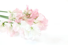 Sweetpea in a white background Royalty Free Stock Image