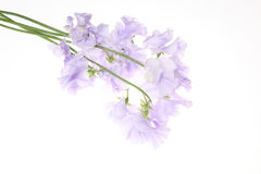 Sweetpea in a white background Stock Photos