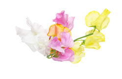 Sweetpea in a white background Stock Images