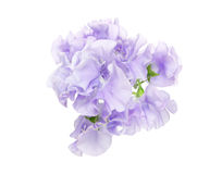 Sweetpea in a white background Royalty Free Stock Photos