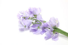 Sweetpea in a white background Stock Image