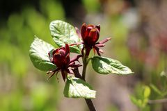 Sweetshrub or Calycanthus deciduous shrub flowering plant with two dark red open flowers surrounded with light green leaves in stock photos
