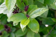 Sweetshrub (Calycanthus floridus) Stock Photo