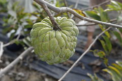 Sweetsop in the field Stock Photo