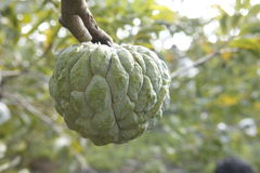 Sweetsop in the field Royalty Free Stock Photo