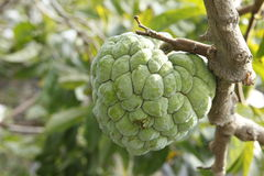 Sweetsop in the field Royalty Free Stock Photos