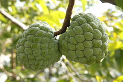 Sweetsop in the field Royalty Free Stock Image