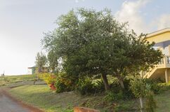 Sweetsop Tree In Forefront Of Coolie Plum Tree
