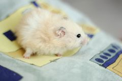 Sweety black-eyed hamster plays Royalty Free Stock Photography