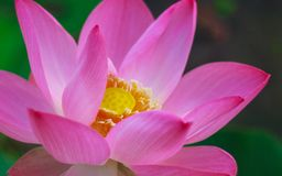 Sweety lotus in morning light Royalty Free Stock Photos