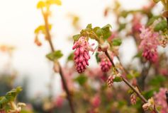 Sweety pink color flower bush, fresh beautiful blossom in graden royalty free stock photo